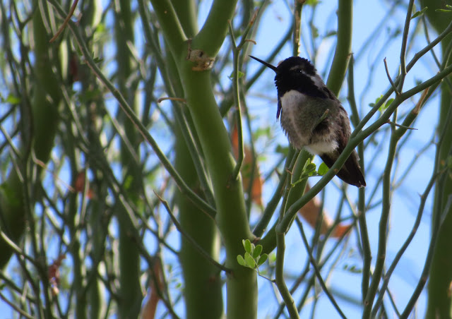 Detail of Hummingbird at Moorten Botanical Garden