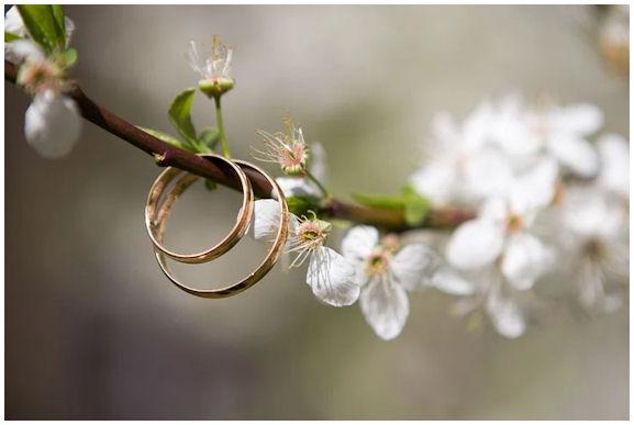 kukkivan omenapuun oksaan pujotettuna 2 sormusta.
