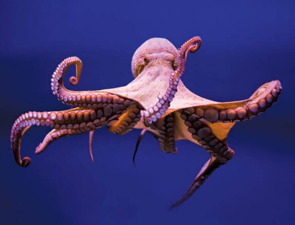 Does octopus have more than one heart?