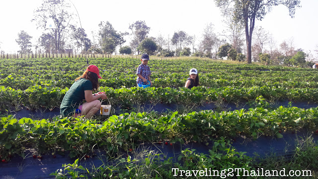 Strawberry hervest in Nan - Thailand