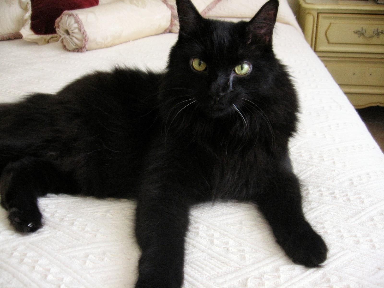 Long Hair Cat Breeds - Cats Types