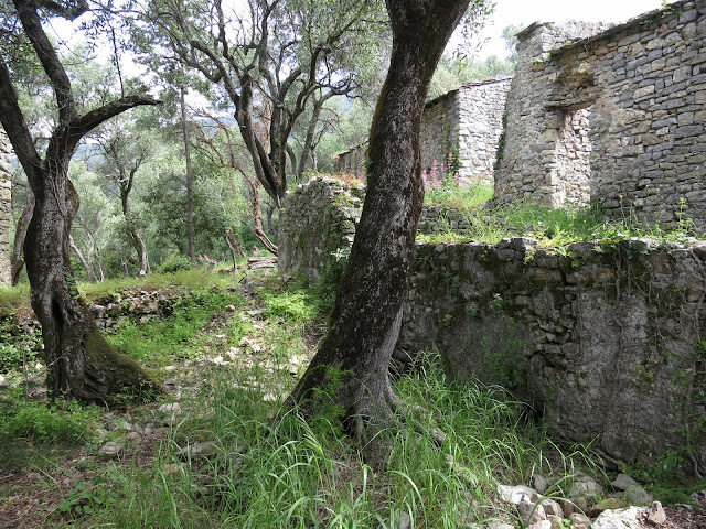 Olive Trees and the Abandoned Ligurian village of Portesone