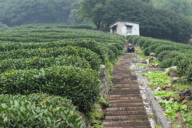 Assis parmi les plantations de thé à Long Jing
