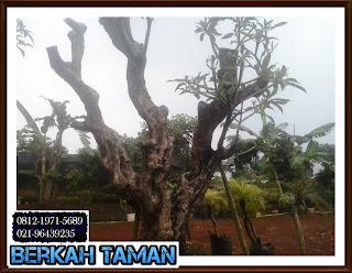 pohon kamboja - pohon kamboja fosil