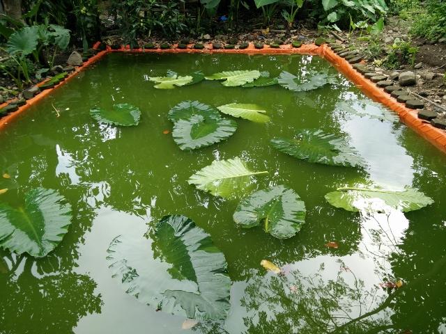 Musim hujan air tidak terlalu hijau pekat