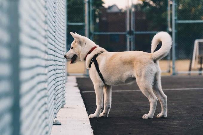 Goberian Dog | Golden Retriever Husky Mix | Siberian Husky Golden Retriever