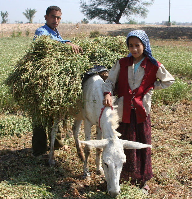 Reaping crops in Algeria
