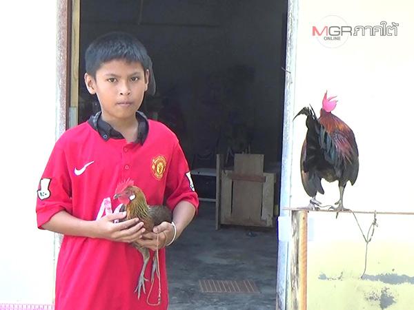 หนุ่มน้อยชาวตรังเลิกเล่นเกม หันมาเลี้ยงไก่แจ้พาแข่งชิงรางวัลนำเป็นทุนการศึกษา