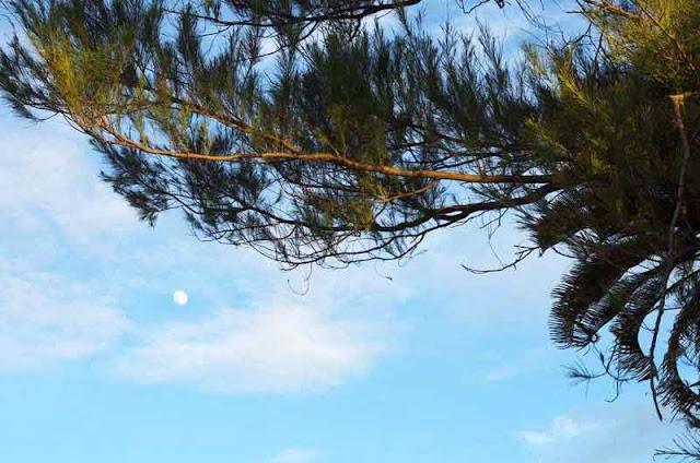 moon in daylight, pine tree