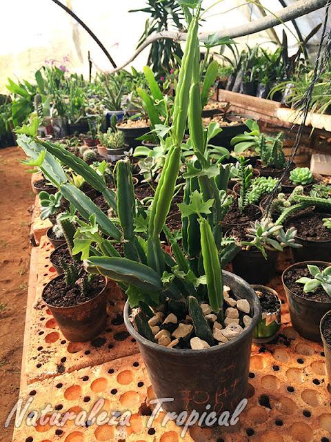 La Uva de Potrero (Cissus quadrangularis) en maceta