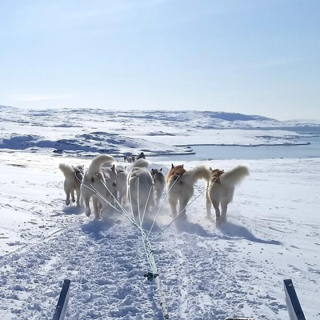 Unique sled dogs helped the inuit thrive in the North American Arctic
