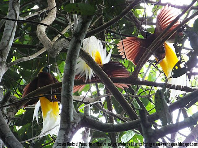 Lesser Birds of Paradise (Paradisaea minor) in rainforest