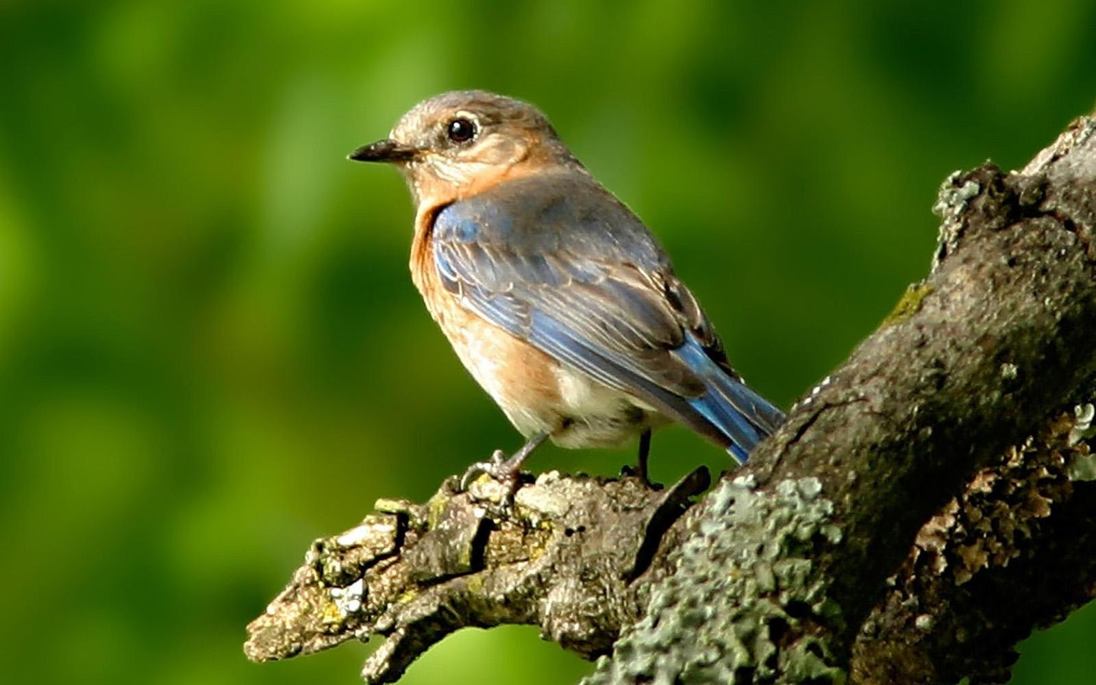 Birds Wallpapers animals pictures