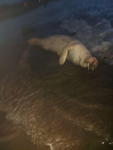 Encuentran manatí muerto en playas de Tubará