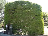 Large Oak topiary at top entrance - Wellington Botanic Garden, New Zealand