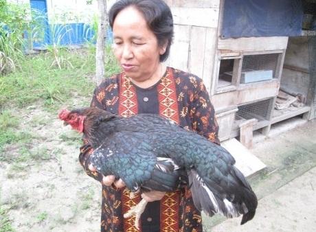 Ayam Aneh Awalnya Betina Akhirnya Berubah Jadi Jantan
