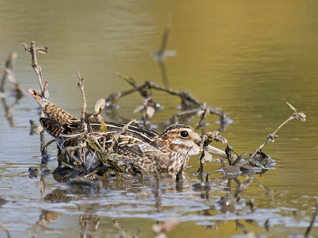 Hide-and-seek: Wilson's Snipe. Oregon, October. Greg Gillson.