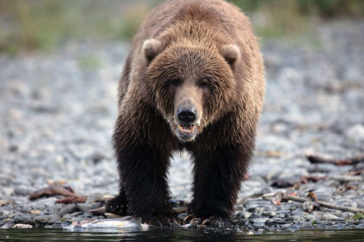 kodiak bear by water - all about the worlds largest bear species