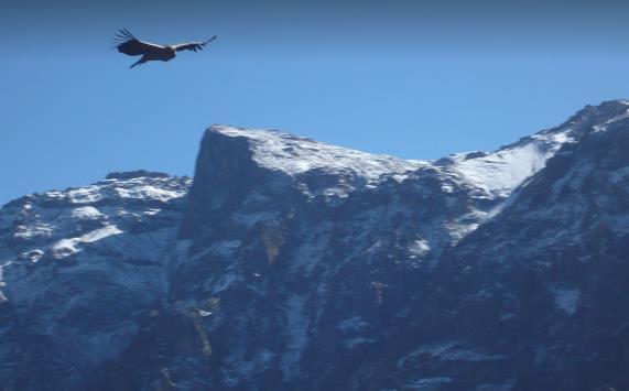 colca canyon condor che vola