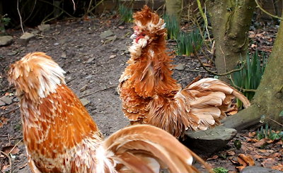 Frizzled and non frizzled Chamois Polish roosters/cockerels