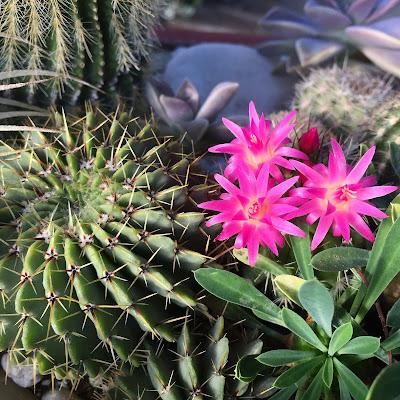 cactus, flower, cactus flower, cacti, garden, gardening, Miami business
