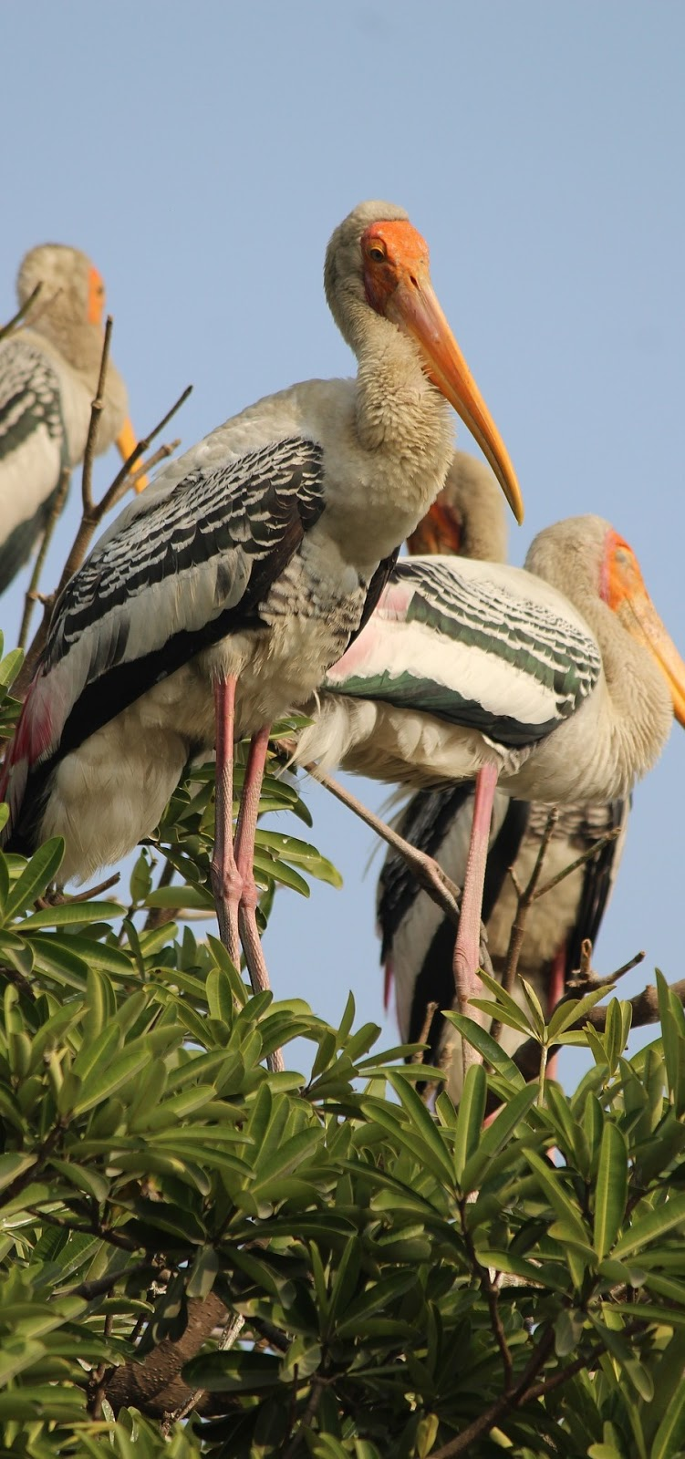 Picture of painted storks.