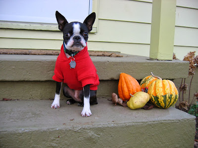 Sinead the Boston terrier with pumpkins