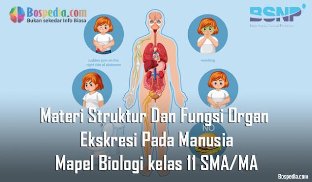 Materi Struktur Dan Fungsi Organ Ekskresi Pada Manusia Mapel Biologi kelas 11 SMA/MA