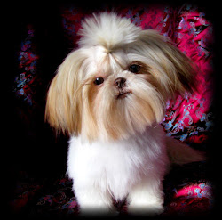 Sweet Tooth Shih Tzu
