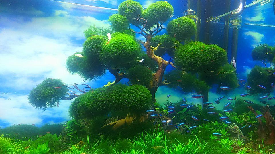 Rêu US Fiss buộc lên cây bon sai trong hồ thủy sinh