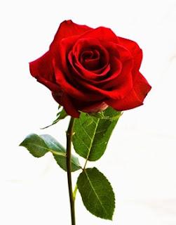bunga-mawar-sidoarjo