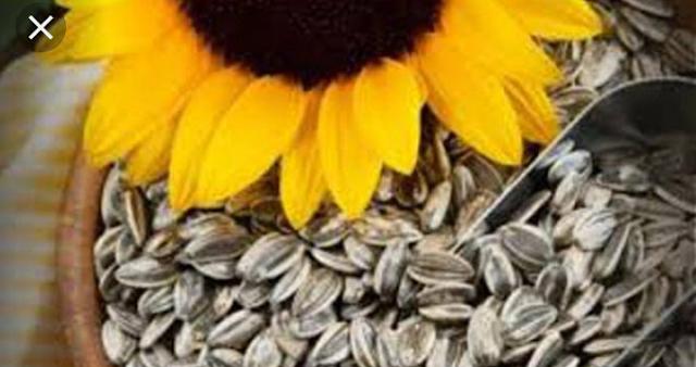 Manfaat dari biji bunga matahari bagi kesehatan anda