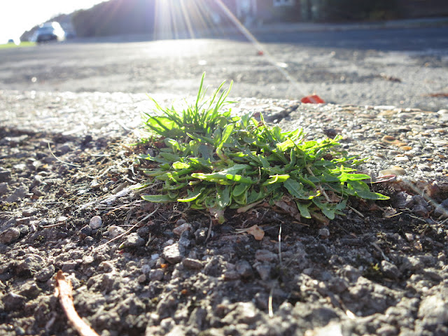 Small green plant growing up through the pavement in a spotlight made by a sunbeam