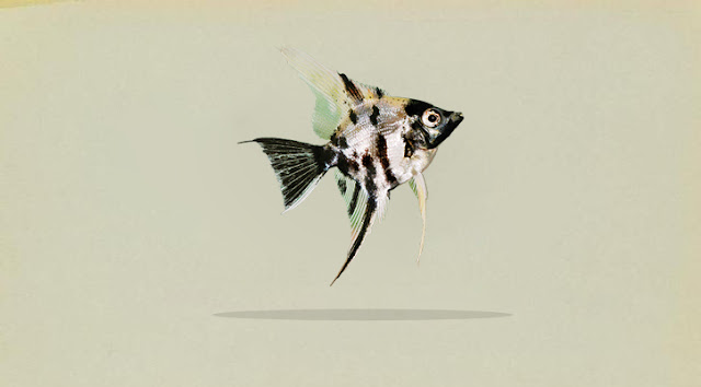 Klasifikasi dan Morfologi Ikan Manfish (Pterophyllum Scalare)