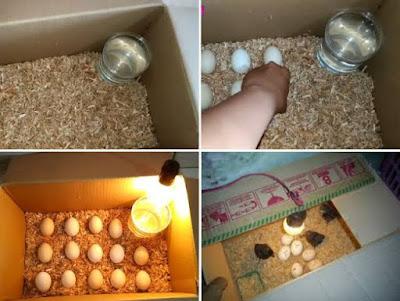 Penetasan telur sederhana