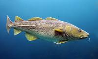 Morina balığının yan taraftan görüntüsü