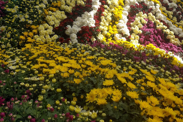 Corner displays with various varieties of Chrysanthemum