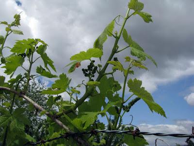 Vinha com brotinhos de uva