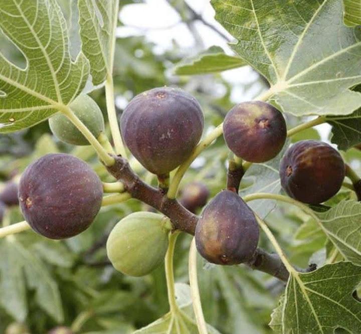 bibit buah tin Payakumbuh
