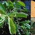 Guava Leaves: A Possible Remedy For Different Skin Problems