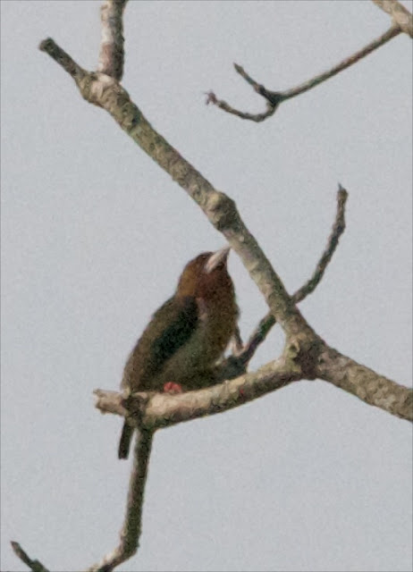 Bornean Brown Barbet (Caloramphus fuliginosus)