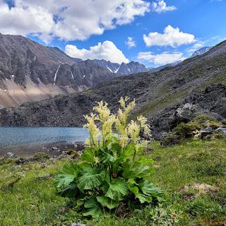 menopause supplement Siberian rhubarb Rheum rhaponticum L. plant