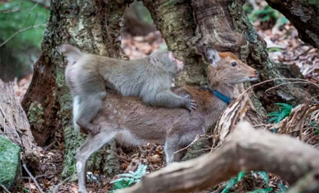 В Японии дикие обезьяны начали массово насиловать оленей