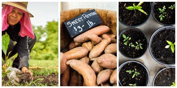 How to Grow Perfect Sweet Potatoes in Your Backyard Tips
