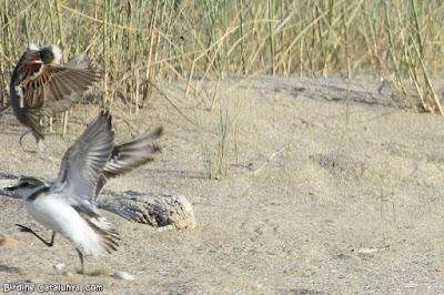 Pardal atacant un poll de corriol camanegre