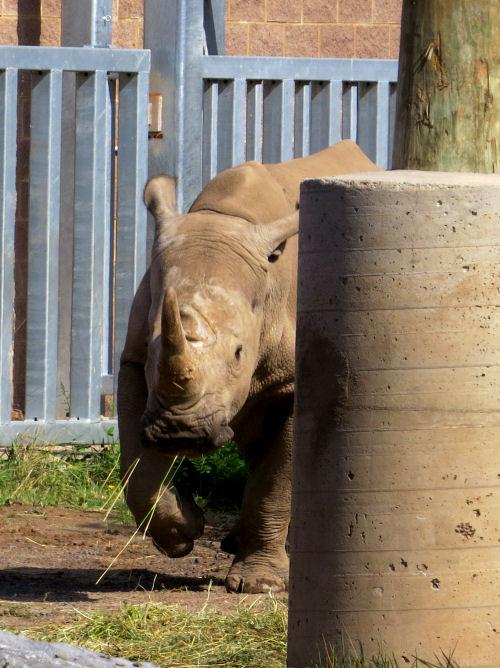 white rhinocerous trotting