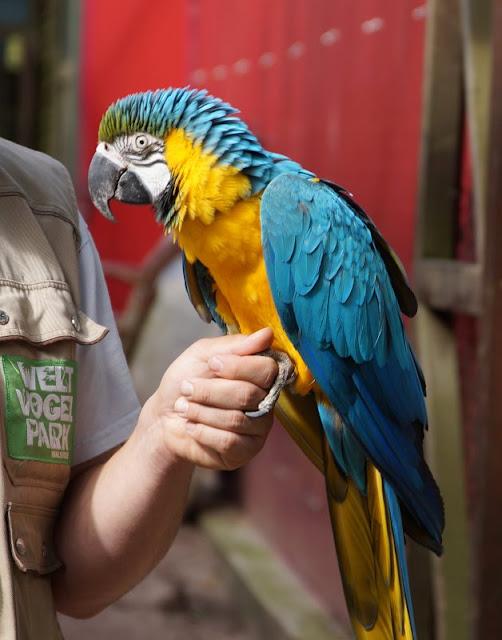 Phantastische Vögel aus aller Welt: Unterwegs im Weltvogelpark Walsrode (+ Verlosung). Beim Blick hinter die Kulissen lernen wir den Ara Captain Hook kennen.