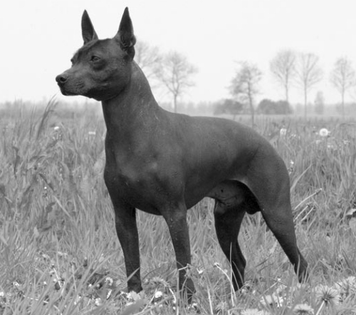 Xoloitzcuintli Names Famous Dogs in History...