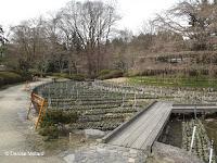 Thousands of Japanese iris plants - Kyoto Botanical Gardens, Japan