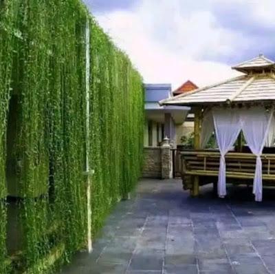Jual bibit pohon Lee Kwan Yew di Bandung | SuryaRaman